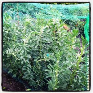 tuinbonen moestuin - puur Homemade