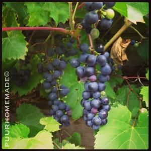 druiven uit eigen tuin
